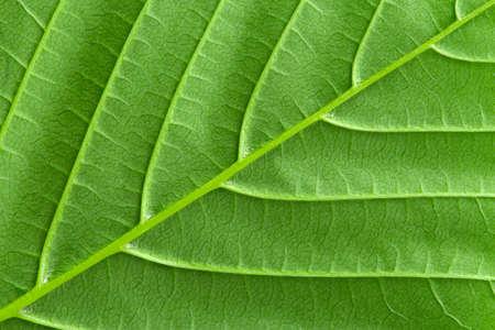 Photo pour Green leaf close up. Plant texture. Green earth concept. - image libre de droit