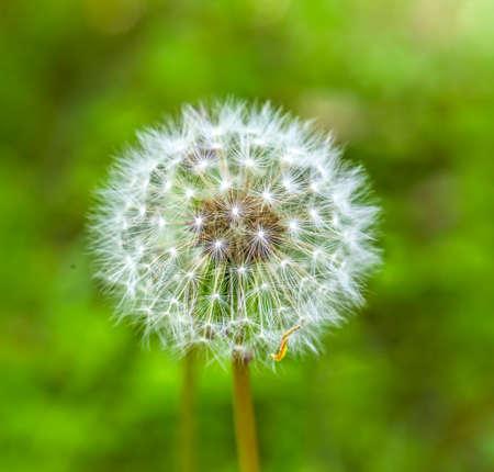 Photo pour dandelion  flower - image libre de droit