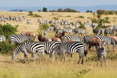Great Migration in Masai Mara National Park, Kenya