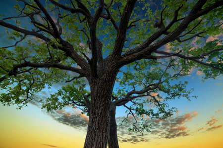 Old oak tree in the background of the sunset sky