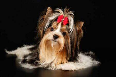 Photo for Studio photography of a Biewer Yorkshire Terrier on colored backgrounds - Royalty Free Image