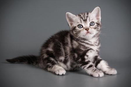 Foto de Studio photography of an American shorthair cat on colored backgrounds - Imagen libre de derechos