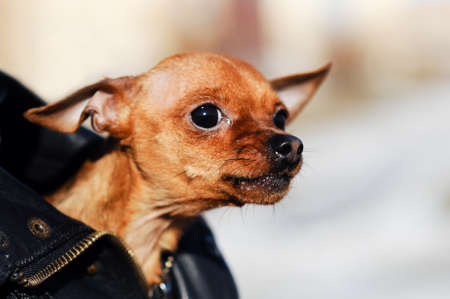 Dog Chihuahua bitch is looking suspiciously and nervously snaps