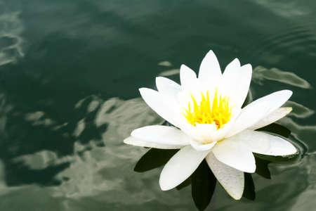 Photo pour White water-lily and its reflection. Close-up - image libre de droit