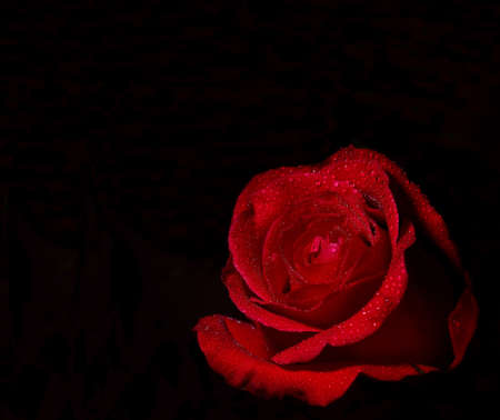 Red Rose on black background.