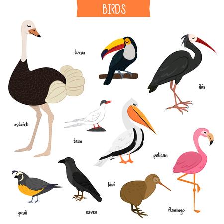 Bird set isolated on white background vector illustration. Ostrich, tucan, ibis, pelican, tern, raven, kiwi, flamingo, quail in cartoon style. Wildlife flying animals, popular bird species collection