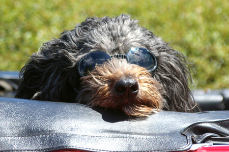Dog with Sunglasses Riding in Convertible