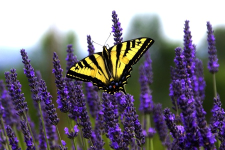 Swallowtail Butterfly on Lavender