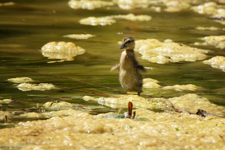 Small Duckling in a big pond