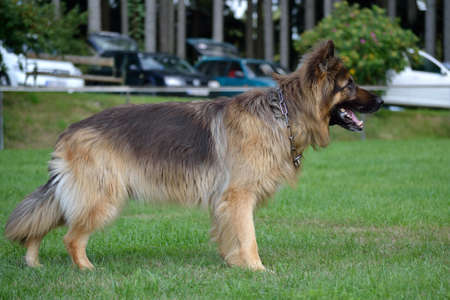 German Longhair Shepherd is on the lawn, waiting for command