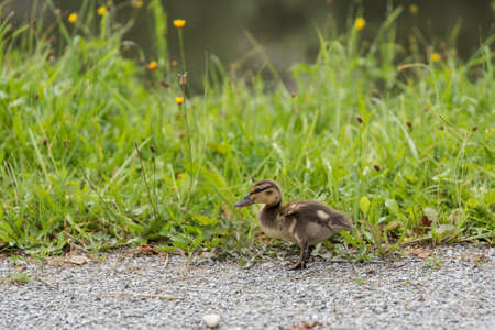 A mallard duck walks alone on land - close-up