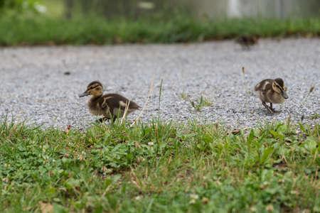 Young wild ducklings go ashore - mallard chicks