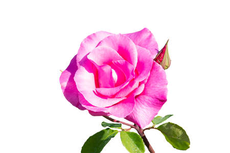 Photo for Pink rose. The Rosa genus is made up of a well-known group of generally thorny and flowery shrubs, the main representatives of the Rosaceae family. isolated on white background - Royalty Free Image