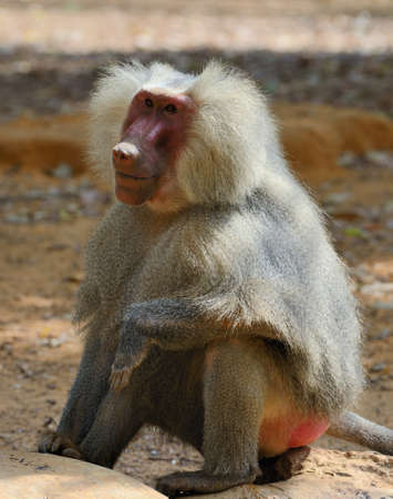 The hamadryas baboon (Papio hamadryas) is a species of baboon, being native to the Horn of Africa and the southwestern tip of the Arabian Peninsula.