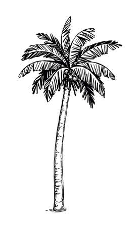 Illustration for Coconut palm tree - Royalty Free Image