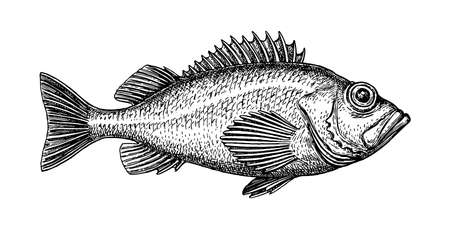 Ink sketch of rockfish. Hand drawn vector illustration of redfish isolated on white background. Retro style.