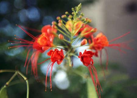 fleur rouge  red flower
