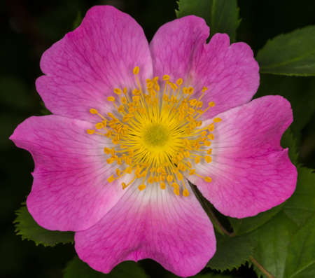 wild rose flower during the summer bloom