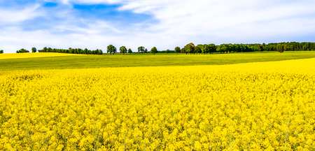 Photo for Rapeseed field, panorama of flowers on fields, farm land landscape in spring scenery - Royalty Free Image