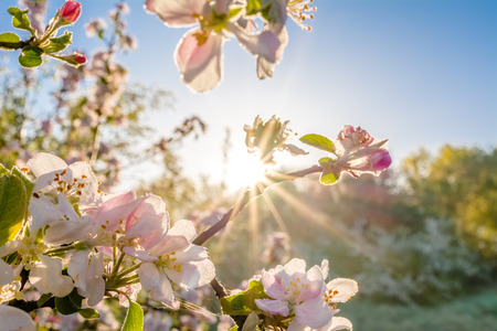 Photo pour Spring blossoms in the sun. Tree branch with apple flowers, blur background. - image libre de droit