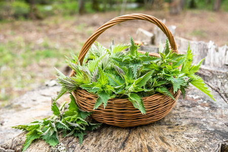 Photo pour Basket of fresh nettle leaves, green herbs harvested in the forest. Alternative medicine plant. - image libre de droit