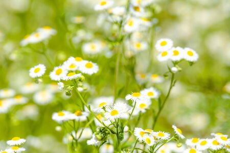 Photo for Eastern daisy flowers with blurred background and selective focus - Royalty Free Image