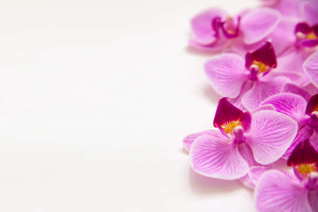 Orchid flower on a white background. The flowers are purple in color. Delicate and beautiful inflorescence. Empty space for the text.Floral background and texture.