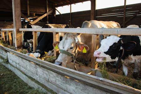Herd of milking cows eating hay in cowshed