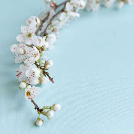 Photo pour Blossom plum branch on a blue background - image libre de droit