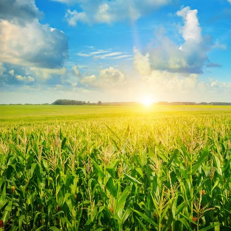 Foto per sunrise over the corn field - Immagine Royalty Free