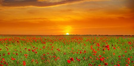 Photo pour Field with poppies and sunrise. Agricultural landscape. Wide photo. - image libre de droit