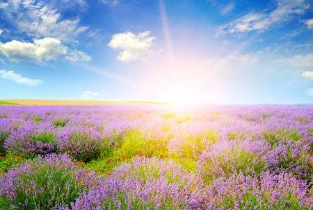 Photo pour Beautiful lavender field at sunset. Agricultural landscape. - image libre de droit