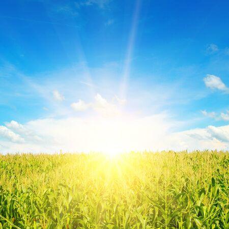 Photo pour Green corn field and bright sunrise against the blue sky. Agricultural landscape. - image libre de droit