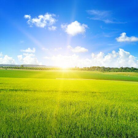 Photo pour Green wheat field, sun rise and blue sky. Agricultural landscape. - image libre de droit