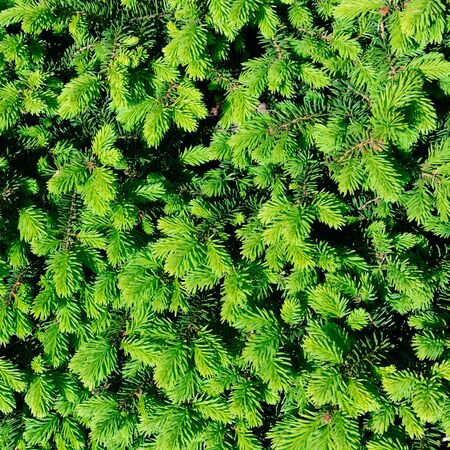 Photo pour Background from fluffy young sprigs of spruce. - image libre de droit
