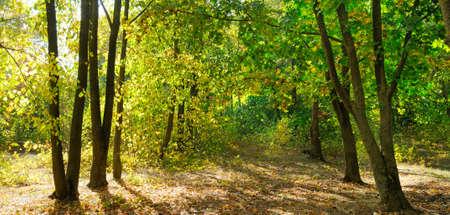 Photo pour Autumn forest on a sunny day. Wide photo. - image libre de droit
