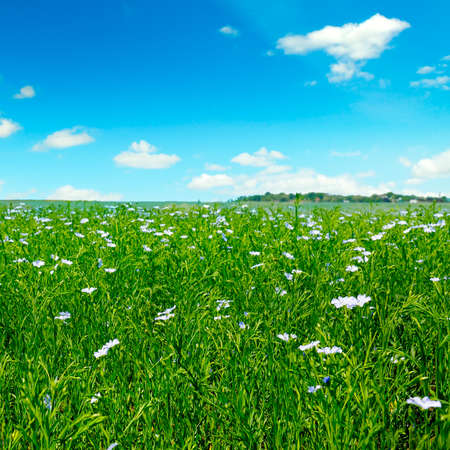 Photo for Fields with flowering flax and blue sky. Spring agricultural landscape. - Royalty Free Image