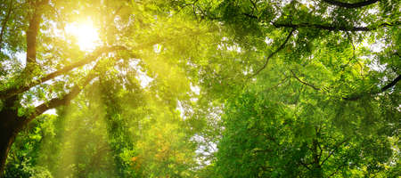 Photo for Summer park. The sun's rays shine through the green crowns of trees. Wide photo. - Royalty Free Image