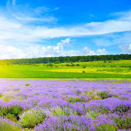 Photo for lavender field and blue sky in summer. - Royalty Free Image