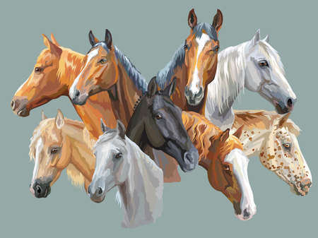 Illustration pour Set of colorful vector portraits of horses breeds (Trakehner horse, Welsh Pony, Orlov Trotter, Arabian horse, Appaloosa horse) isolated on grey background - image libre de droit