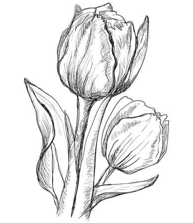 Illustration pour Hand drawn Tulip flower. Vector monochrome illustration isolated on white background. - image libre de droit