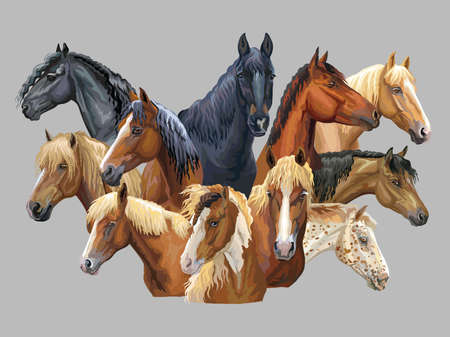 Illustration pour Set of colorful vector portraits of different horses breeds (Russian Heavy Draft Horse; Byelorussian Harness Horse; Friesian horse, Welsh pony) isolated on grey background - image libre de droit