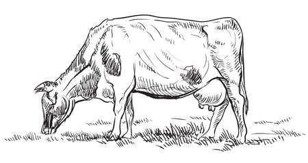 Illustration pour Vector hand drawing Illustration cow on pasture standing in profile. Monochrome vector hand drawing sketch illustration in black color isolated on white background. - image libre de droit