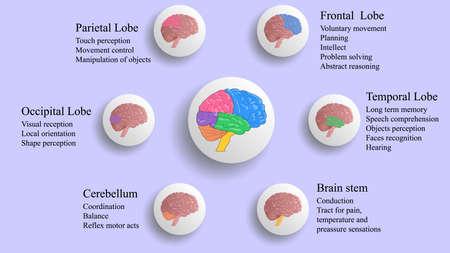 Illustration pour Brain lobes vector illustration. Human brain infographic vector. Brain lobes functions - image libre de droit