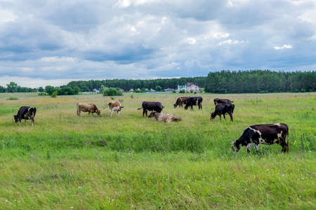 Photo pour Cows grazing on a green summer meadow. Selective focus - image libre de droit