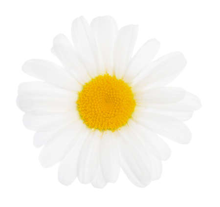 the flower of a camomile is isolated on white