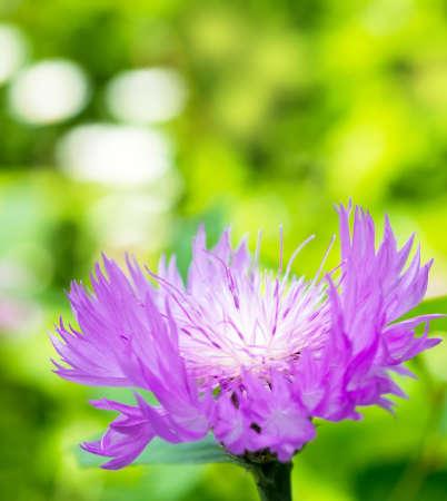 lilac cornflower  on a gree