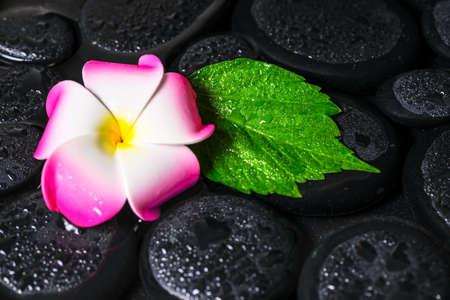 green leaf hibiscus, plumeria on zen basalt stones with drops in water, closeup