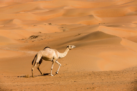 Photo pour Camels  in the liwa desert of Abu Dhabi, UAE - image libre de droit