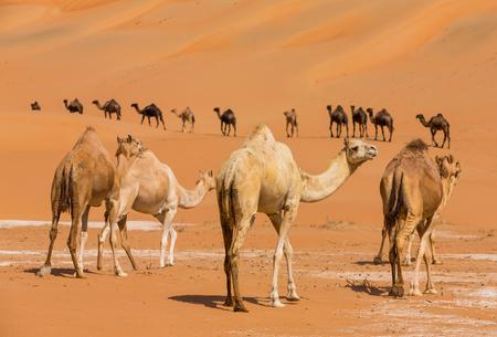 Camels  in the liwa desert of Abu Dhabi, UAE